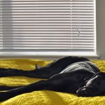 52571125 - young black laborador retriever dog